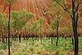 A189, Northern Territory, Australia, Uluru-Kata Tjuta National Park, Ayers Rock detail with trees, 2007.JPG