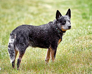 English: Australian Cattle Dog - mature blue male