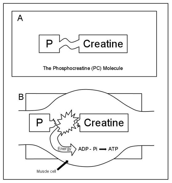 what is phosphocreatine resynthesis