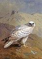 A Greenland or Gyr Falcon.jpg