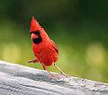 A VERY silly bird! (3816972393).jpg