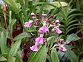 A and B Larsen orchids - Encyclia cordigera Dscn2435.jpg