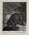A bear seen from behind climbing down a rocky path. Etching Wellcome V0021062ER.jpg