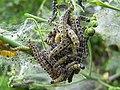 A bundle of caterpillars - geograph.org.uk - 427496.jpg
