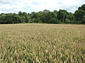 A field of ripening wheat - geograph.org.uk - 1405675.jpg
