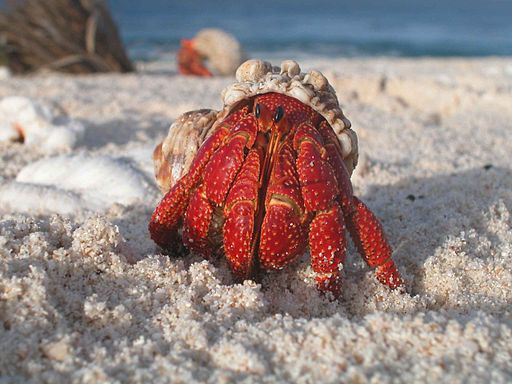 A hermit crab emerges from its shell