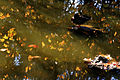 A pond with reflection in Golden Gate Park 2.jpg