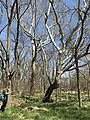 A woman takes a photo of a tree at Rock Creek Crossing in Council Grove, KS - 2 (8b799290c7bf4371a9bcc36839f20be7).JPG