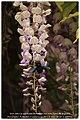 Abeille xylocope butinant sur une fleur de glycine..jpg