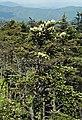Abies fraseri (Fraser fir) (Clingmans Dome, Great Smoky Mountains, North Carolina, USA) 12 (36206499573).jpg