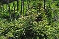 Abies fraseri (Fraser fir) (Clingmans Dome, Great Smoky Mountains, North Carolina, USA) 5 (36874168201).jpg