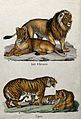 Above, a lion and a lioness; below, two tigers. Lithograph b Wellcome V0020745.jpg