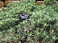 Abromeitiella brevifolia DUBG 2009-06-03.JPG