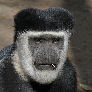 Abyssinian black-and-white colobus (Colobus guereza guereza) male head.jpg