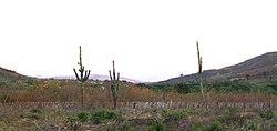 Caatinga: forma��o vegetal xer�fila que aparece no Pol�gono das Secas.