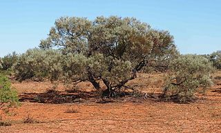 <i>Acacia calcicola</i> species of plant