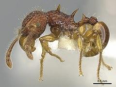 Acanthomyrmex careoscrobis.jpg