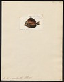 Acanthurus caeruleus - 1700-1880 - Print - Iconographia Zoologica - Special Collections University of Amsterdam - UBA01 IZ13700045.tif