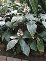 Acanthus montanus5.jpg
