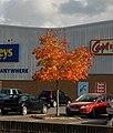 Acer, Kingsteignton - geograph.org.uk - 1014600.jpg
