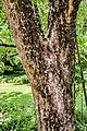 Acer buergerianum in Eastwoodhill Arboretum (4).jpg