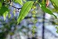 Acer carpinifolium 1zz.jpg
