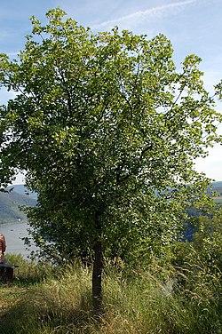arbre erable de montpellier