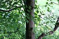 Acer palmatum 'Satsuki-beni' 4.jpg