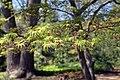 Acer palmatum Seiryu 1zz.jpg