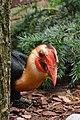 Aceros leucocephalus (Mindanaohornvogel - Writhed Hornbill) - Weltvogelpark Walsrode 2013-04.jpg