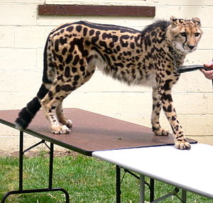 A King Cheetah (merely a colour mutation of th...