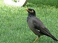 Acridotheres tristis in the grounds of the Le Royal Méridien Beach Resort and Spa in Dubai 8.jpg