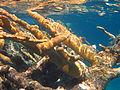 Acropora palmata (elkhorn coral) (San Salvador Island, Bahamas) 2 (15513720893).jpg
