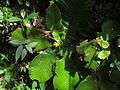 Acrotrema arnottianum.JPG