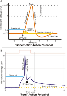 Two plots of the membrane potential (measured in mV) versus time (ms). Top: idealized plot where the membrane potential starts out at -70 mV at time zero. A stimulus is applied at time = 1 ms, which raises the membrane potential above -55 mV (the threshold potential). After the stimulus is applied, the membrane potential rapidly rises to a peak potential of +40 mV at time = 2 ms. Just as quickly, the potential then drops and overshoots to -90 mV at time = 3 ms, and finally the resting potential of -70 mV is reestablished at time = 5 ms. Bottom: a plot of an experimentally determined action potential that is very similar in appearance to the idealized plot, except that the peak is much sharper and the initial drop is to -50 mV increasing to -30 mV before dropping back to the resting potential of -70 mV.
