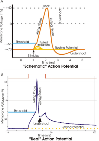 Threshold potential - A. A schematic view of an idealized action potential illustrates its various phases as the action potential passes a point on a cell membrane. B. Actual recordings of action potentials are often distorted compared to the schematic view because of variations in electrophysiological techniques used to make the recording.