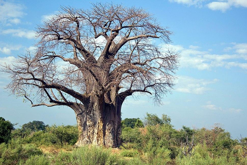 Adansonia digitata arbre MHNT