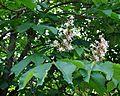 Aesculus hippocastanum Horse Chestnut ცხენისწაბლა (3).JPG