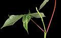 Aesculus parviflora 05.jpg