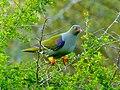 African Green Pigeon (Treron calvus) (11423539903) (cropped).jpg