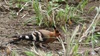File:African Hoopoe (Upupa africana) foraging in the ground ....webm