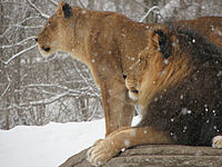 African Lion Panthera leo Snow Pittsburgh 2816px.jpg
