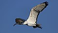 African Sacred Ibis,Threskiornis aethiopicus, at Waterfall Estate, Gauteng, South Africa (35295449933).jpg