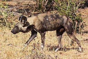 Cape wild dog - A Cape wild dog at Okavango Delta, Botswana.