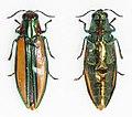 Afrochroa lepida (39176901195).jpg