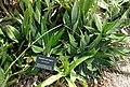 Agave horrida (Agave desmetiana) - Mounts Botanical Garden - Palm Beach County, Florida - DSC03618.jpg
