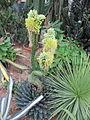 Agave victoriae-reginae in flower (6261699801).jpg
