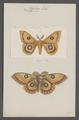 Aglia - Print - Iconographia Zoologica - Special Collections University of Amsterdam - UBAINV0274 056 06 0122.tif