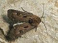 Agrotis exclamationis - Heart and dart - Совка восклицательная (41078932221).jpg