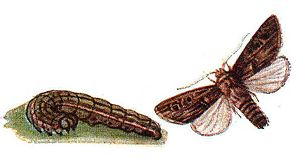 Turnip moth - Illustration of caterpillar and imago